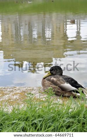 Duck with Gloriette, Schoenbrunn Palace, in reflection, Vienna, Austria - stock photo