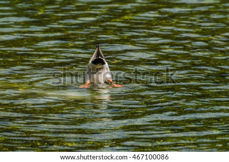 duck with head underwater on lake
