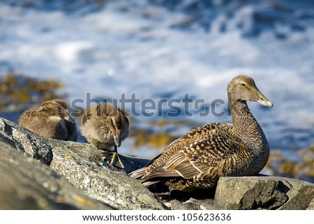 Duckling family on the rocks by the water
