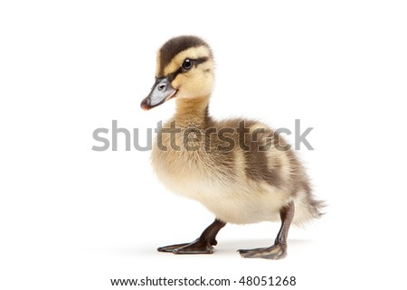 duckling isolated on white background - baby mallard (Anas platyrhynchos) closeup - stock photo