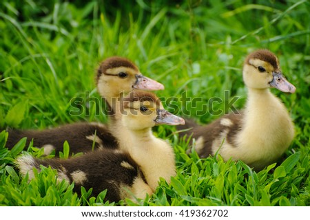 duckling on the green grass