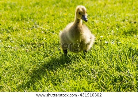 duckling standing on the green fiels outside - stock photo