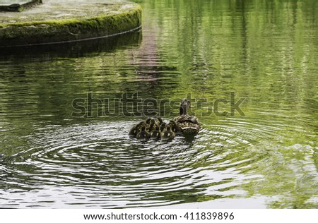 ducklings grouped together with his mother in the lake - stock photo