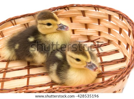 ducklings in a basket on a white background - stock photo