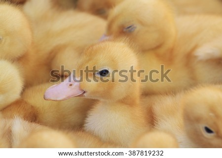 Ducklings on a farm, portrait, yellow duck, spring season - stock photo