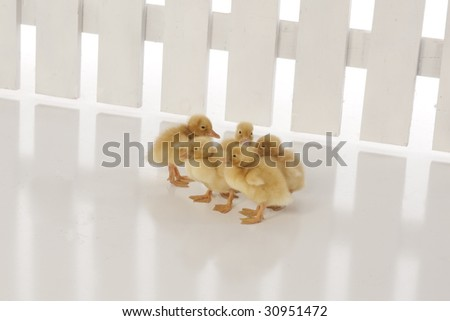 Ducklings on white with fence - stock photo