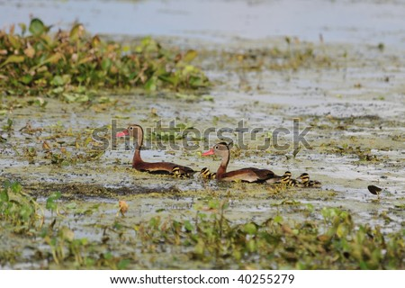 Ducks and ducklings at the Orlando Wetlands Park - stock photo