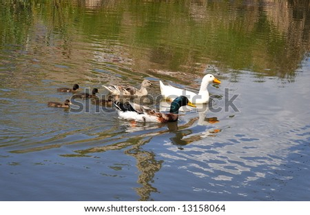 ducks and ducklings on the river - stock photo