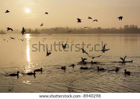 Ducks and seaguls at dawn on a lake - stock photo