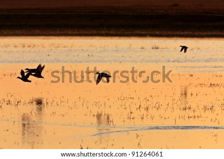 Ducks in Flight Sunrise Saskatchewan Canada - stock photo