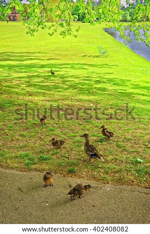 Ducks in Green Park of Audley End House in Essex in England. It is a medieval county house. Now it is under protection of the English Heritage. - stock photo