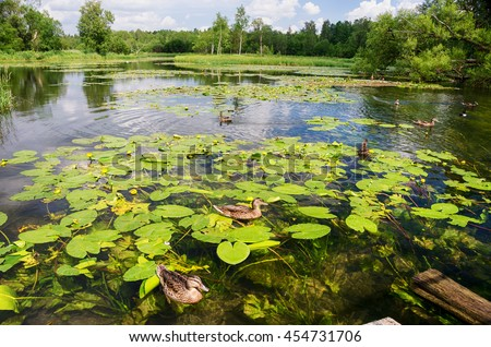 Ducks in the pond with blooming water lilies - stock photo