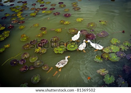 Ducks on a lilly pond followed by fish