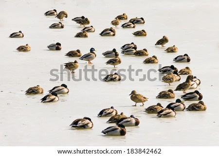 Ducks on the ice of the melting pond   - stock photo