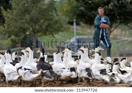 Ducks outside de farm and farmer in background - stock photo