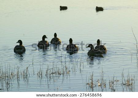 Ducks swim at sunrise at the Bosque del Apache National Wildlife Refuge, near San Antonio and Socorro, New Mexico  - stock photo