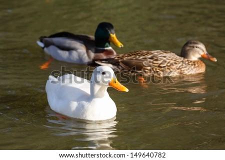 Ducks swimming - stock photo