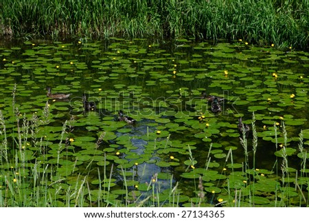 Ducks, swimming in the beautiful pond. - stock photo
