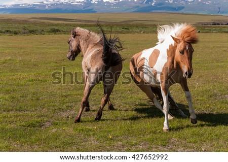 Duel of icelandic horses in the pasture, nature habitat, Iceland - stock photo