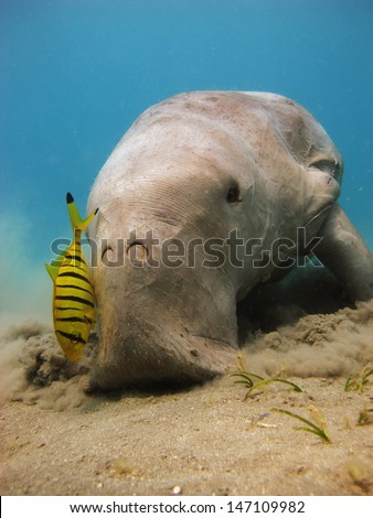 Dugong dugon eating seagrass, accompanied by juvenile pilot jacks - stock photo