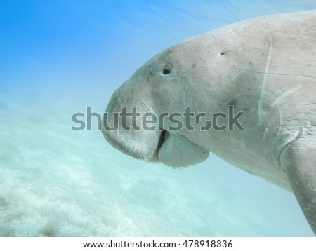 Dugong dugon. The sea cow. Red Sea