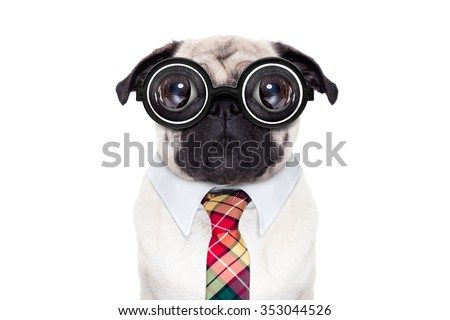 dumb crazy pug dog with nerd glasses as an office business worker, isolated on white background - stock photo
