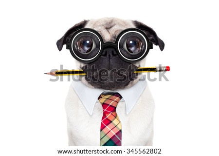 dumb crazy pug dog with nerd glasses as an office business worker with pencil in mouth , isolated on white background - stock photo