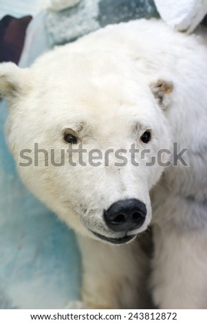 Dummy face of polar bear in museum. - stock photo