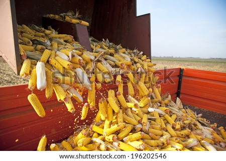 Dumping the corn cobs to tractor trailer during harvest - stock photo