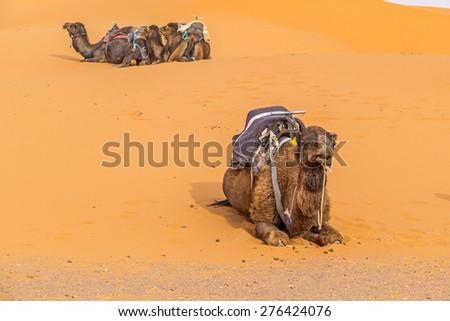 Dunes Erg Chebbi near Merzouga, Morocco - Camels used for tours into the erg - stock photo