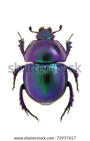Dung beetle Trypocopris vernalis - blue form - stock photo