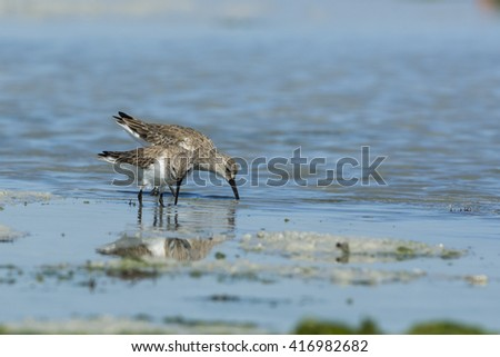 Dunlin birds wandering in the shallow water in low tide - Bahrain