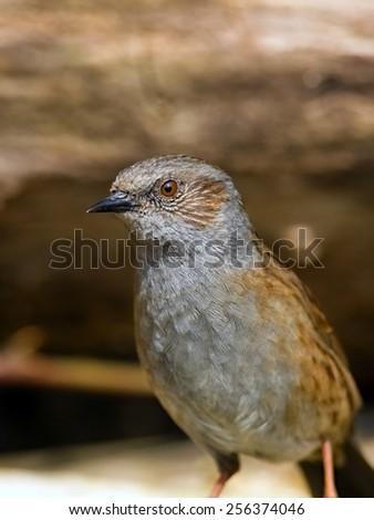 Dunnock bird  - stock photo