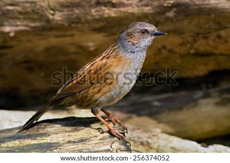 Dunnock bird on the branch - stock photo