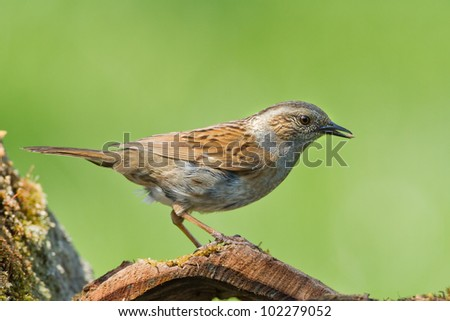 Dunnock standing in woodland - stock photo
