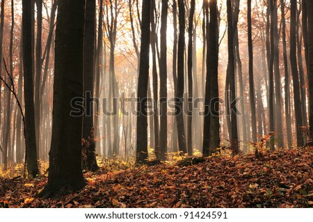 Dusk in old beech forest. - stock photo