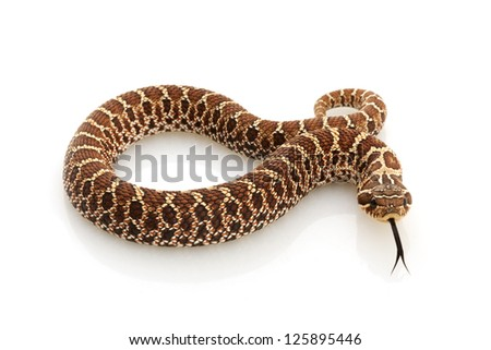 Dusky Hognose Snake (Heterodon nasicus gloydi) isolated on white background. - stock photo