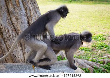 Dusky Leaf Monkey Hybridize - stock photo
