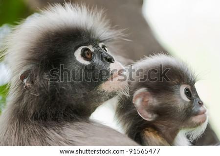 Dusky Leaf Monkey / Spectacled Langur on tree - stock photo