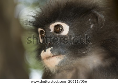 Dusky leaf monkey, Trachypithecus obscurus.  - stock photo