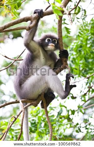 dusky leaf monkeys in tropical rainforest, thailand - stock photo