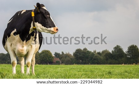 Dutch black and white cow in a grass meadow