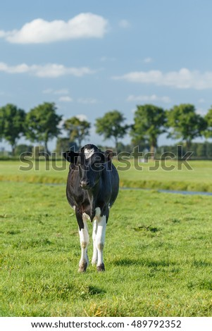 Dutch black and white cow on a sunny day.