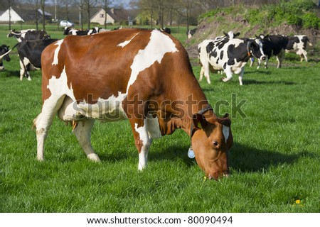Dutch brown and black with white cows in landscape - stock photo