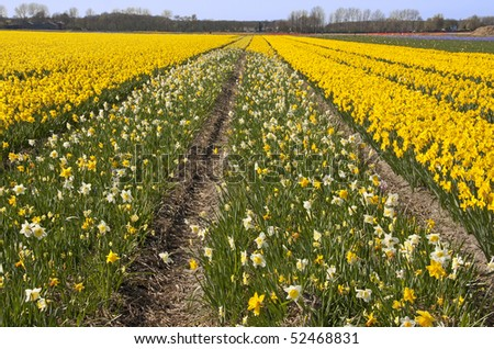 Dutch bulb field with daffodil flowers