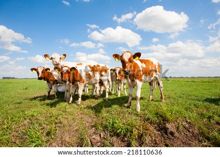 Dutch calves in the meadow