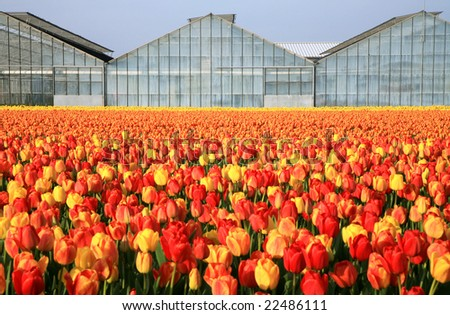 Dutch country business greenhouses and field of tulips. Spring in Netherlands. - stock photo