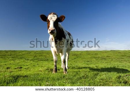 Dutch cow - stock photo