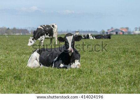 Dutch cows in a meadow - stock photo