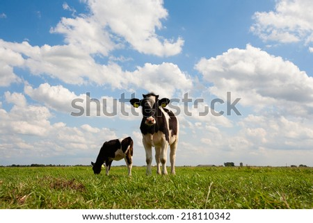 Dutch cows in the meadow  - stock photo
